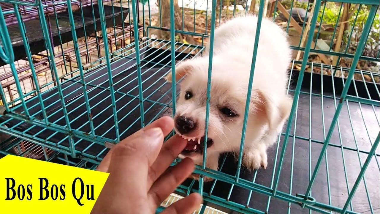 Berapa Harga Anjing Golden Retriever