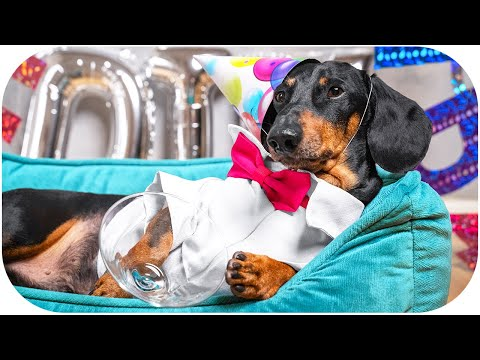 10 years ol… young dog's Birthday! Cute & funny dachshund dog video!