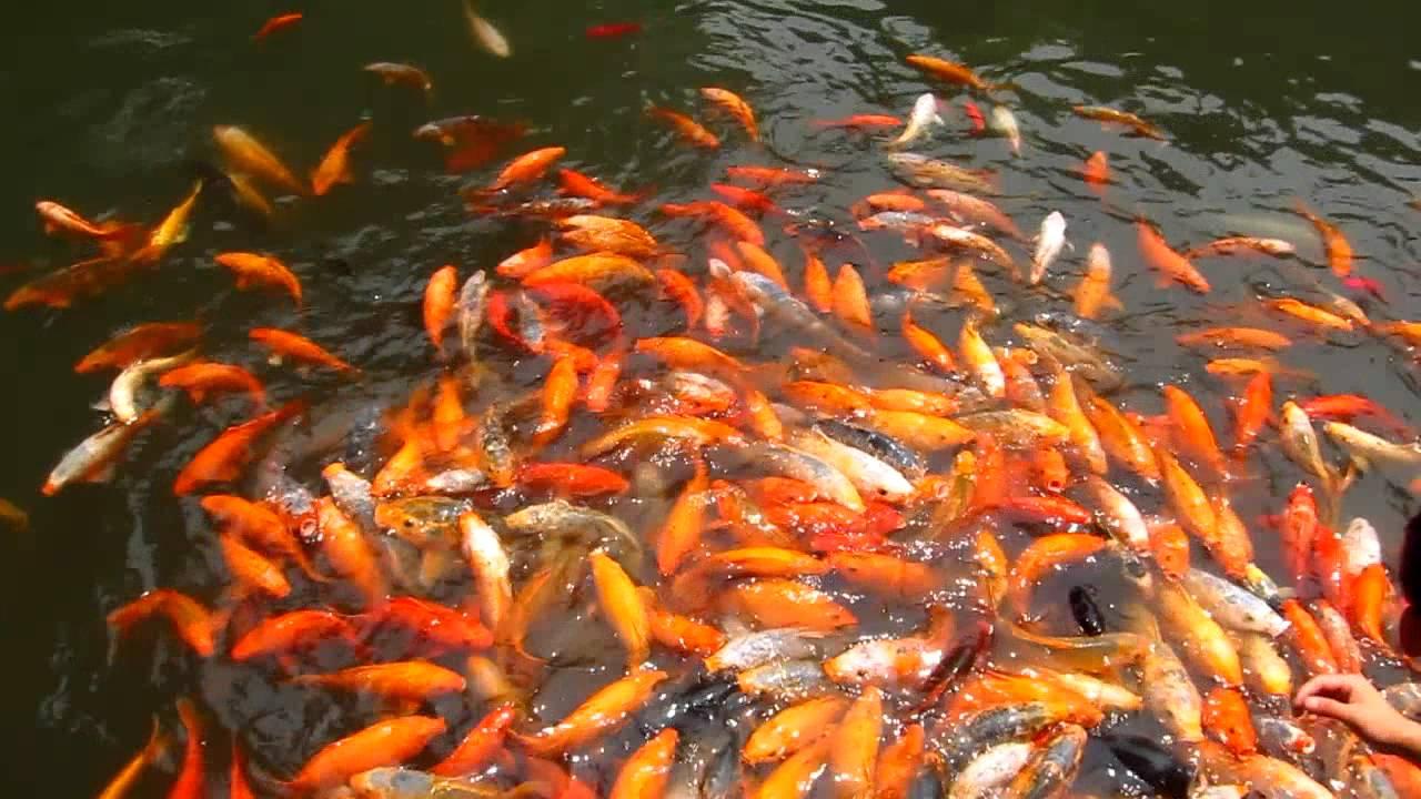 Koi fish feeding frenzy youtube for Keeping koi fish