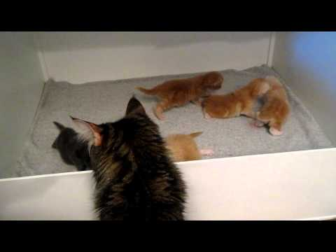 Maine Coon kittens, 2 weeks old