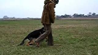 Дрессировка щенка немецкой овчарки, 4 мес(Собаке 4 месяца, всем