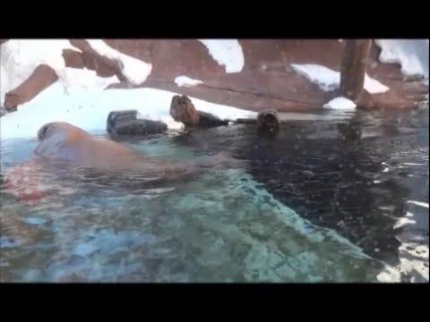 Walrus Odobenus rosmarus  Part III (Eating habits – reproduction – utilization)