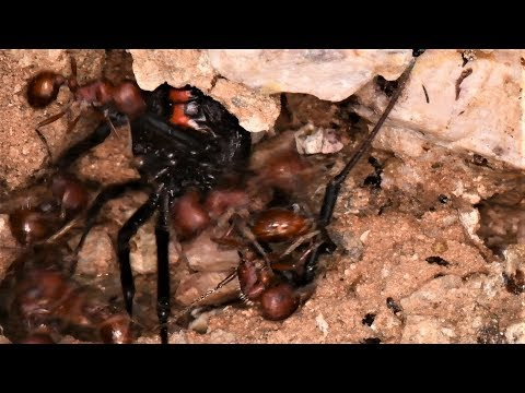 Black Widow and Ants (Warning: May be disturbing to some viewers)