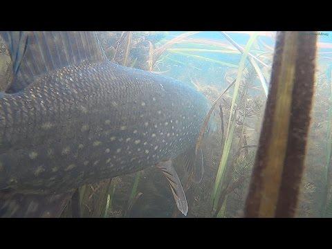 видео: Подводная видео охота 2016