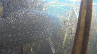 Подводная видео охота 2016