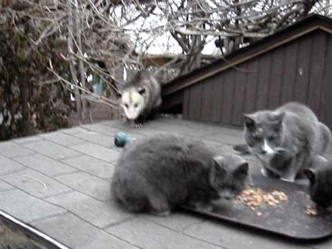 Possum Cat Food