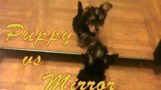 Puppy Yorkshire Terrier Vs. Mirror
