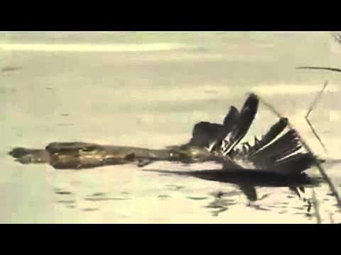 Kền kền mất mạng sau cú đớp  điện giật  của cá sấu