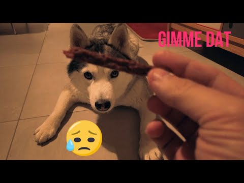 how-long-can-this-cute-husky-wait-for-her-treat?-husky-patience-test