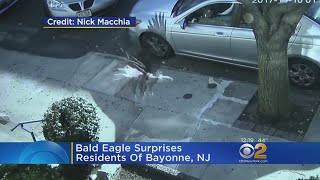 Video Bald Eagle Surprises New Jersey Town download MP3, 3GP, MP4, WEBM, AVI, FLV Juli 2018