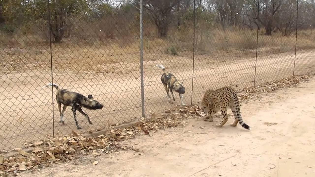 cheetahs and wild dogs showoff ! - YouTube
