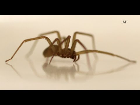Brown Recluse Spiders In Michigan Youtube