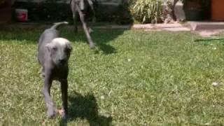Peruvian Hairless Dog - Perro Sin Pelo del Perú