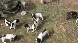 Field Spaniel Puppy Gathering