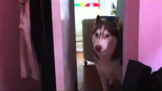 Luna's Crazy Morning Alarm - Husky Dog Growling Howling Talking Calling Wolf