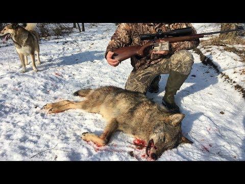 Смотреть Охота на волка | Выход волка | Лиса из CZ-527 | Wolf hunting 2018 | Часть 1 онлайн