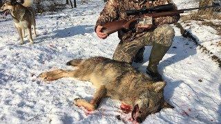 Охота на волка | Выход волка | Лиса из CZ-527 | Wolf hunting 2018 | Часть 1