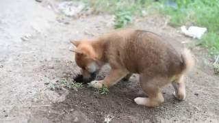 柴犬の子犬は穴掘りがお好き♡