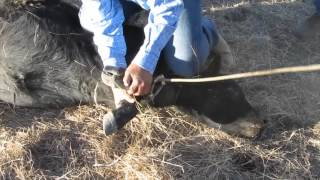 GRAPHIC!! - Cattle Castration and Branding