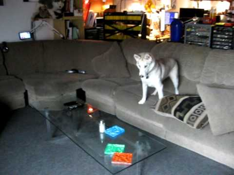 Neighbor S Husky Runs Around My Apartment