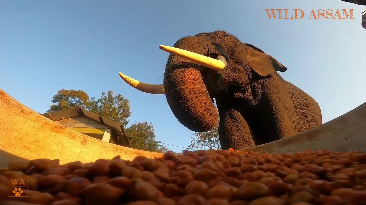 FEEDING TIME     FOREST DEPT ELEPHANTS    MIHIMUKH GATE KAZIRANGA