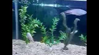タイワンキンギョ、パラダイスフィッシュ(ノーマル×4、白・albino×5)  Paradise fish