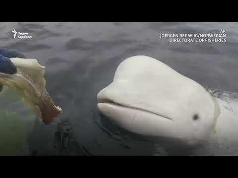 Вопрос: Почему иностранцы кита -белуху называют белуга?