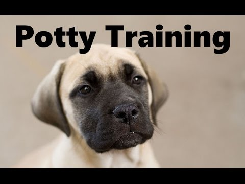 How To Potty Train A Mastiff Puppy - Mastiff House Training Tips - Housebreaking Mastiff Puppies