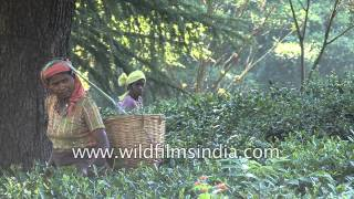 Tea workers plucking tea leaves at a Tea estate : Palampur