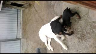 Науз и щенки добермана