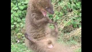 Dấu chân và phân của Chồn đèn (Footprints & feces of Ferret)