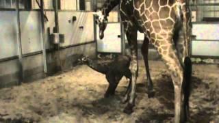 M2UGiraffe Birth 10