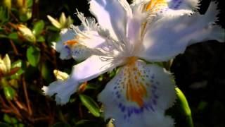 シャガの花が舞う 福下恵美 動画 23