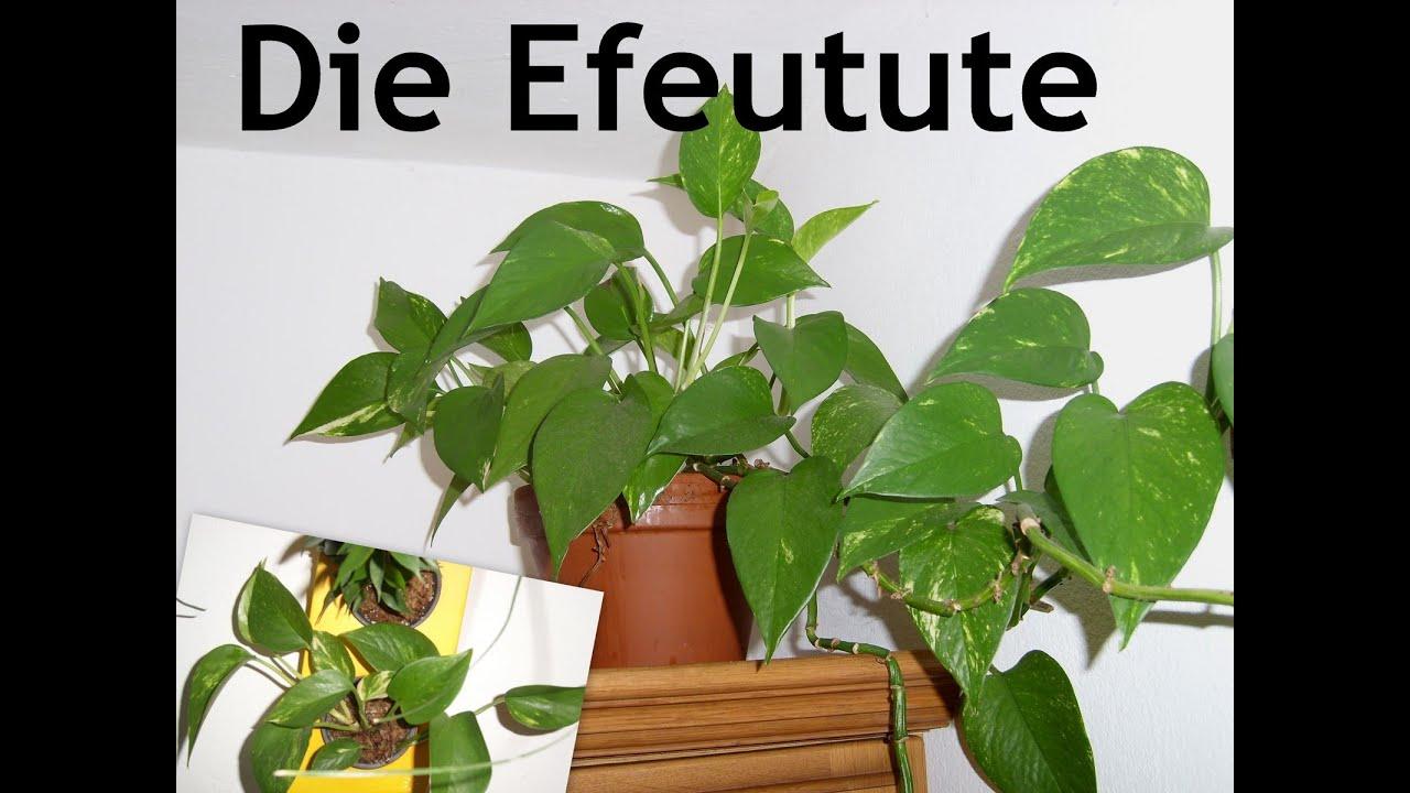 Efeu Zimmerpflanze die efeutute eine zimmerpflanze für jedermann