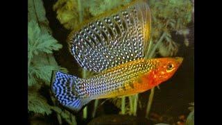 TINY from SINGAPORE:  OTF Aquarium Farm - MOLLIES, PLATIES, SWORDTAIL FISHES