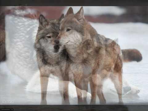 Даже волки умеют...