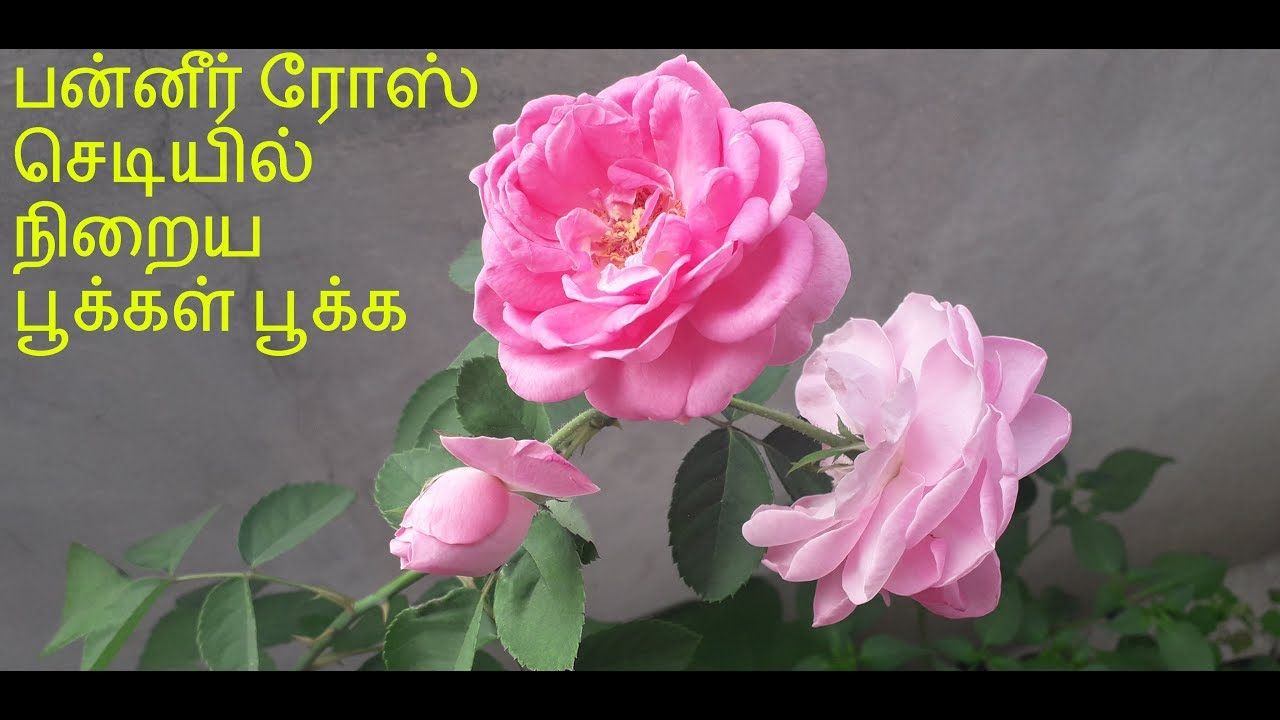How To Grow Paneer Rose Plant In Tamil Tamil Paneer Rose Plant Care In Tamil Tamilneithal Youtube