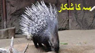 Porcupine Hunting Seh Ka Shikar