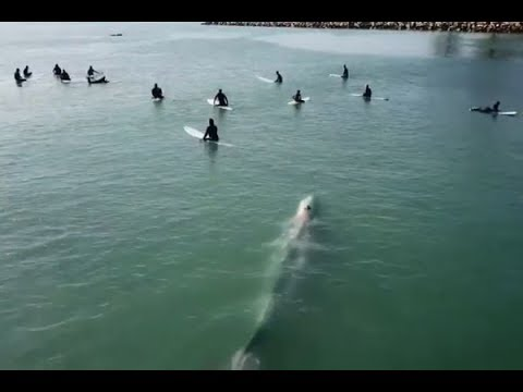SHROOM - Giant Whale Swims Under Surfers [Video]