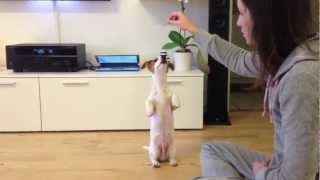 Five Month Old Jack Russell Terrier Doing Tricks