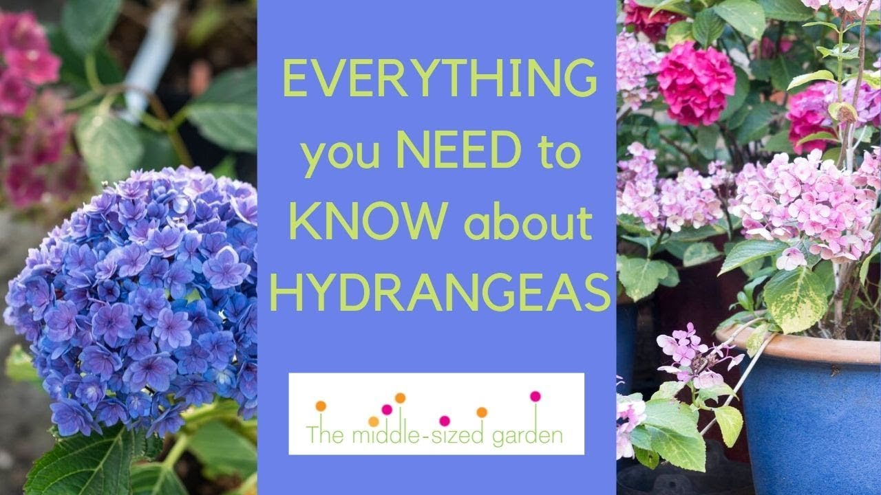 Download Hydrangeas - everything you need to know about growing hydrangeas in your garden