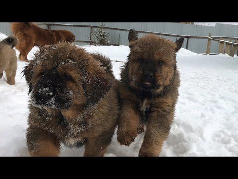 #1 Гуляем со щенками тибетского мастифа: Как мать наказывает своих щенков.