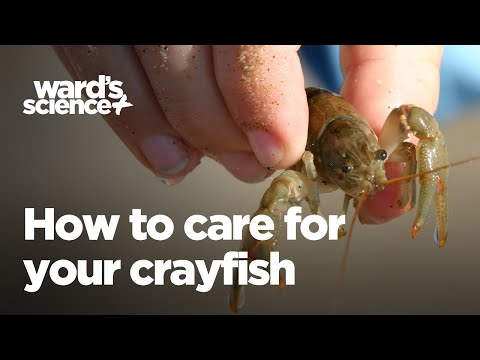 Caring For Your Crayfish