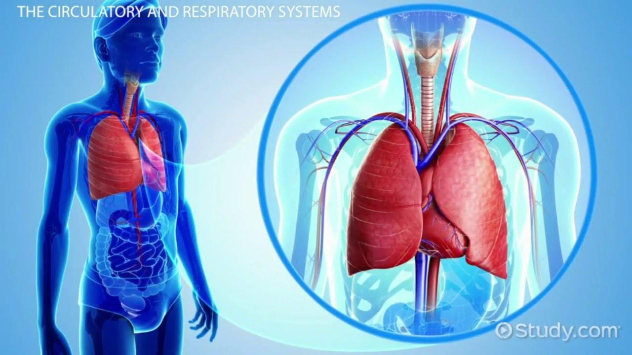 circulatory system and respiratory relationship
