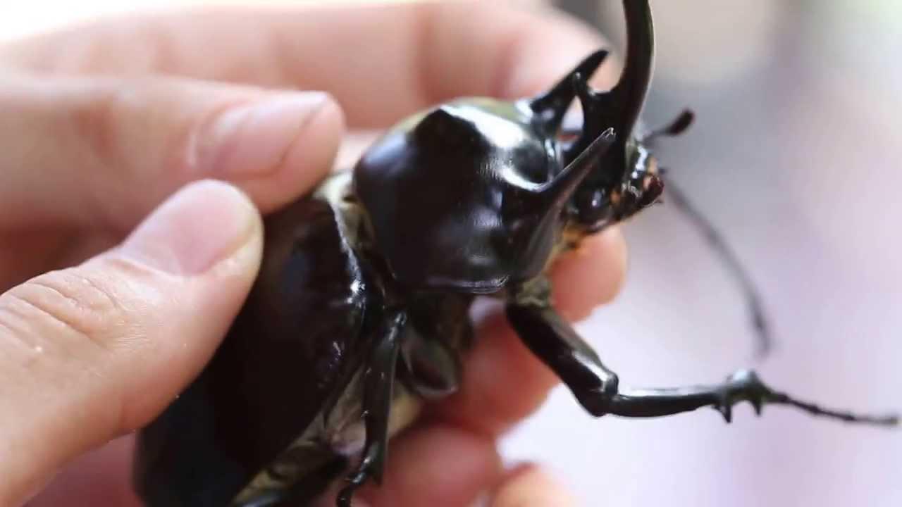 Giant Hercules Beetle   www.pixshark.com - Images ...