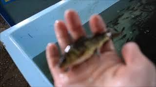 Карп перед отгрузкой: малек, маточное стадо, 2-хлетка. Карагандинский рыбопитомник