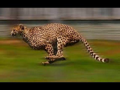 ما هو أسرع حيوان على الكرة الأرضية فنجان