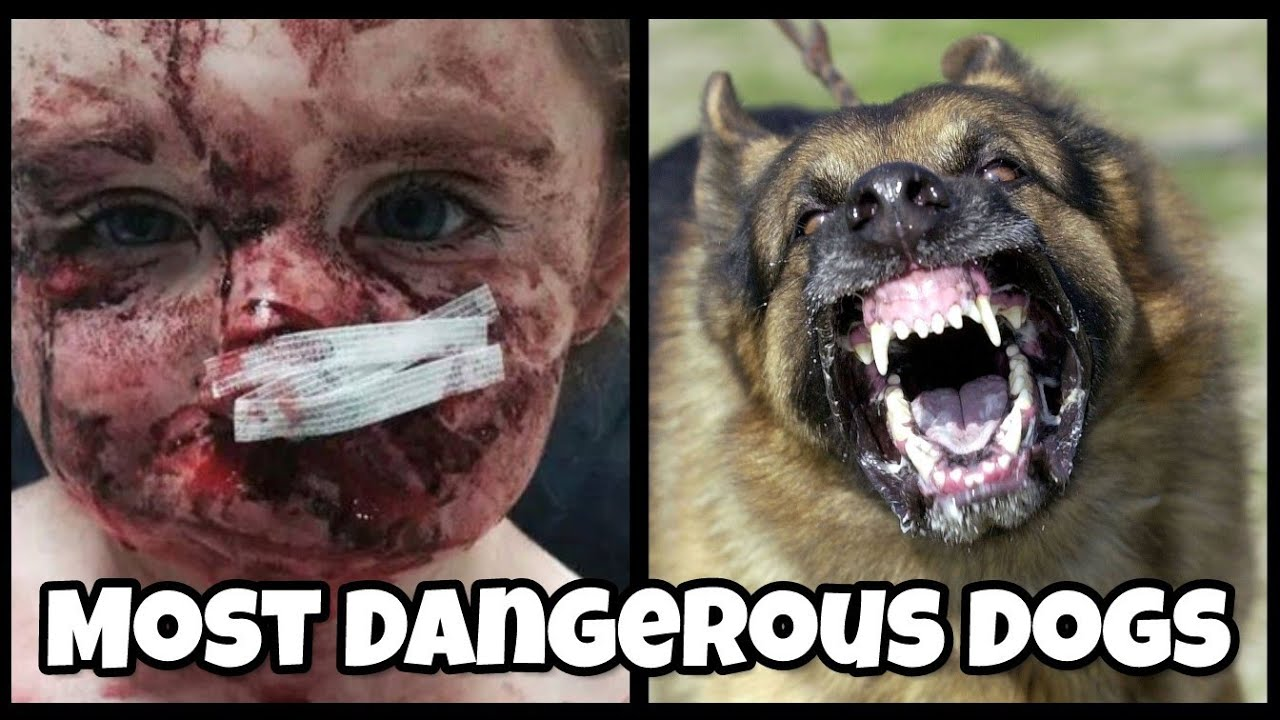 Top 10 DANGEROUS DOG BREEDS in the world 2019