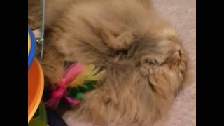 Шотлвндские котята. Вислоухие котята. Породистые котята. Казань. Купить. Питомник