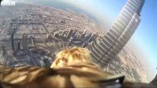 Eagle ''darshan'' With Camera Flies From Dubai Skyscraper